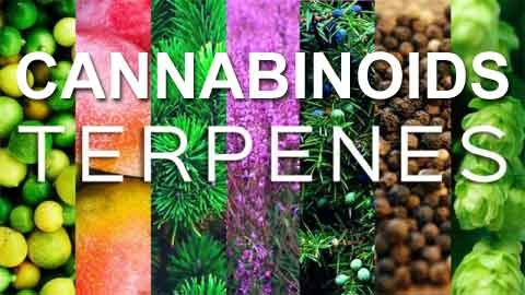 Cannabinoids Terpenes | Flavored CBD Oil | Cannabidiol Terpenes